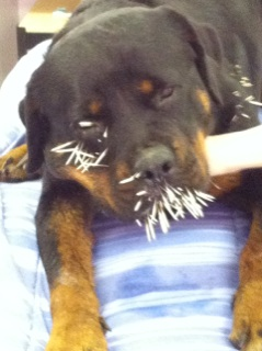 dog with porcupine quills